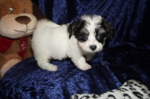 Mercedes Female CKC Havanese $1750 Ready 1/10 SOLD MY NEW HOME POWHATTAN POINT, OH 1.12lbs 7wks old