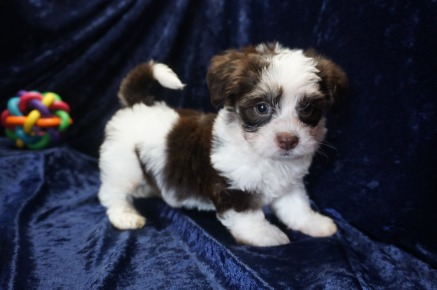 Royce Male CKC Havanese $1750 Ready 1/10 SOLD My new home is in Ponte Vedra, FL. 2.9lbs 7wks old
