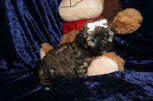 Sasha Female CKC Shihpoo $2000 Ready 1/18 SOLD MY NEW HOME CALLHAN, FL 1.13lbs 6wks old