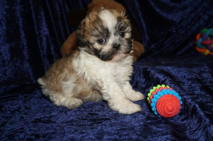 Turkey Male CKC Shihpoo $1750 Ready 1/18 SOLD MY NEW HOME VIDALIA, GA 2.3lbs 6wks old
