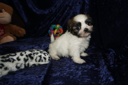 Wishbone Male CKC Shihpoo $1750 Ready 1/18 AVAILABLE 1.12lbs 6wks old