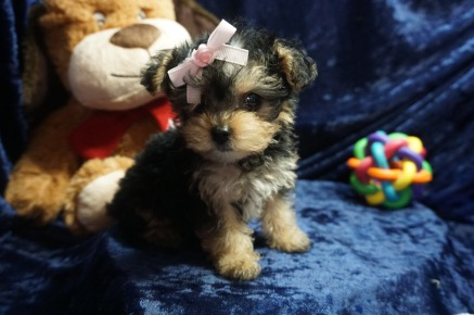 Zoey Female CKC Yorkipoo $2000 Ready 1/4 SOLD 1.1 lbs 8 wks old