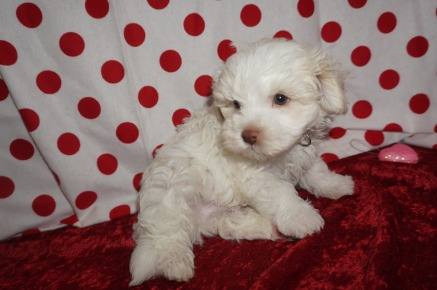 Archie Male CKC Maltipoo $1750 Ready 1/18 SOLD MY NEW HOME BRUNSWICK, GA ! 2.3lbs 8wks old