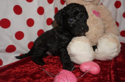 Beau Male CKC Mini Labradoodle $2000 Ready 2/10 HAS DEPOSIT MY NEW HOME Fleming Island, FL 1.3lbs 4wk1d old