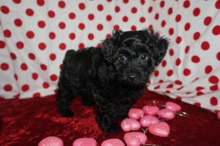 Bowzer Male CKC Morkipoo $1750 Ready 1/23 SOLD MY NEW HOME CALLAWAY, MD 2.9lbs 7wk1d old