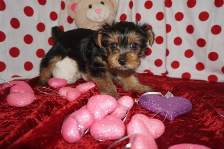 Cher Female CKC Yorkie $2000 Ready 1/25 HAS DEPOSIT! My new home is in Jacksonville,FL. 1.12lbs 7wks old