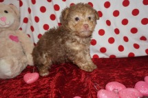 Cody Male CKC Morkipoo $2000 Ready 2/2 SOLD 1.14lbs 5wk4d old