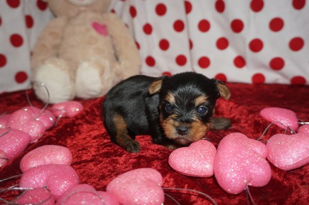 Fonsie Male CKC Morkie $2000 Ready 2/20 AVAILABLE FL 12.9oz 4wks old