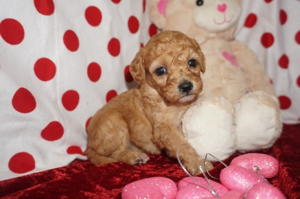Juliet Female CKC Mini Labradoodle $2000 Ready 2/10 HAS DEPOSIT MY NEW HOME FLEMING ISLAND, FL 1.2lbs 4wk1d old