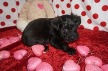 Lady Bug Female CKC T-Cup Yorkipoo $1750 Ready 2/3 HAS DEPOSIT MY NEW HOME MIDDLEBURG, FL 1.10lbs 5wk4d old