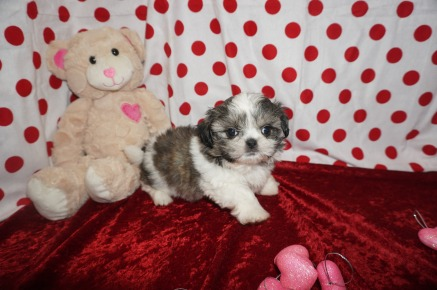 Lucas Male CKC Shih Tzu $1750 Ready 1/28 SOLD MY NEW HOME JACKSONVILLE, FL 1.14lbs 6wk3d old