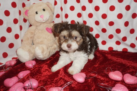 Matthew Male Havanese $2000 Ready 1/22 SOLD MY NEW HOME JACKSONVILLE, FL 2.9 lbs 7wk2d old