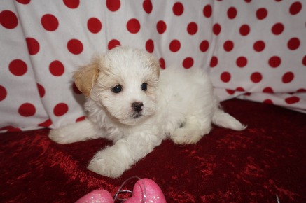 Micah Male Havanese $1750 Ready 1/22 HAS DEPOSIT MY NEW HOME JACKSONVILLE. FL 2.1lbs 7wk2d old