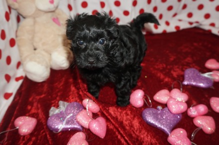 Sassy Female CKC Morkipoo $1750 Ready 1/23 SOLD MY NEW HOME GEORGIA 2.4lbs 7wk1d old