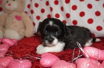 Valentino Male Miki $2000 Ready 2/14 AVAILABLE 1.5lbs 4wks old