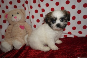 Wishbone Male CKC Shihpoo $1750 Ready 1/18 SOLD MY NEW HOMEBERKLEY, MI 2.7lbs 8wks old