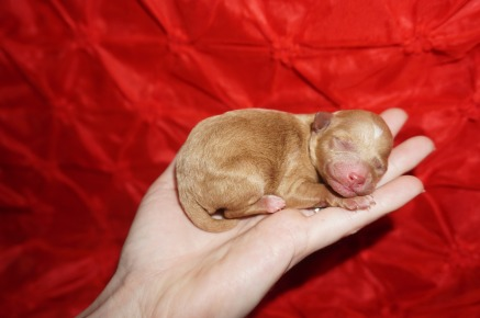 Blossom Female CKC Mini Labradoodle $2000 Ready 3/2 HAS DEPOSIT! MY NEW HOME IS IN JAX,FL. 4.8oz 1 day old