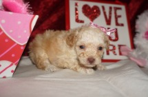 Jane Hathaway Female CKC Maltipoo $2000 Ready 2/23 HAS DEPOSIT MY NEW HOME JACKSONVILLE, FL 14.1oz 4wk2d old