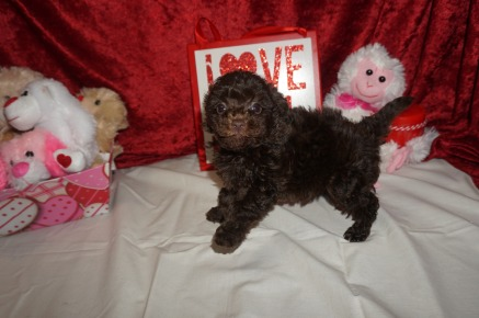 Jasper Male CKC Maltipoo $2000 READY ON 2/9 SOLD MY NEW HOME CO 1.6lbs 6wk2d old