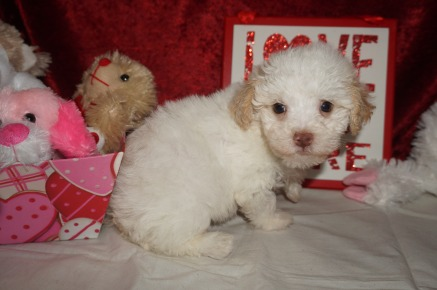 Jet Male CKC Maltipoo $1750 READY ON 2/9 SOLD MY NEW HOME JACKSONVILLE, FL 1.14lbs 6wk2d old