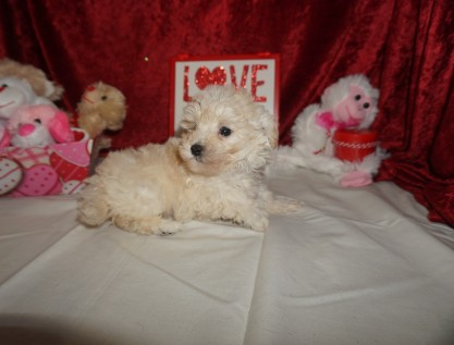Joey Male CKC Maltipoo $1750 READY ON 2/9 SOLD MY NEW HOME ST JOHNS, FL 1.8lbs 6wk2d old