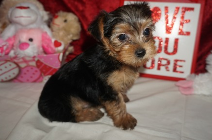 Pickles Male CKC Yorkie $1750 Ready 2./6 SOLD MY NEW HOME JACKSONVILLE, FL 2.3 lbs 6W6D Old