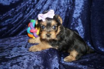 Cher Female CKC Yorkie $2000 Ready 1/25 HAS DEPOSIT! My new home is in Jacksonville,FL. 1.8lbs 5wk5d old