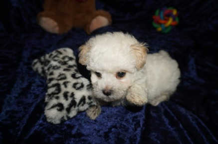 Hunter Male CKC Maltipoo $1750 Ready 1/10 SOLD MY NEW HOME JACKSONVILLE, FL 1.8lbs 7wks old