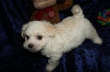 Huxley Male CKC Maltipoo $1750 Ready 1/10 SOLD MY NEW HOME PORT ORANGE, FL 1.12lbs 7wks