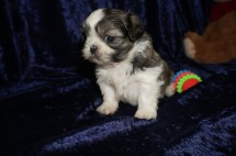 Lucas Male CKC Shih Tzu $1750 Ready 1/28 AVAILABLE 1.8lbs 4wk2d old