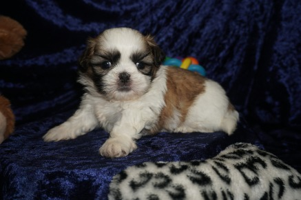 Luke Male CKC Shih Tzu $1750 Ready 1/28 HAS DEPOSIT MY NEW HOME YULEE, FL 1.12lbs 4wk2d old