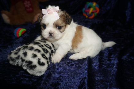 Lulu Female CKC Shih Tzu $1750 Ready 1/28 HAS DEPOSIT MY NEW HOME SATELLITE BEACH, FL 1.8lbs 2wk4d old