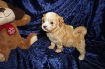 Miles Male CKC Havapoo $2000 Ready 1/18 SOLD My new home is in Tampa, FL! 1.11lbs 6wks old