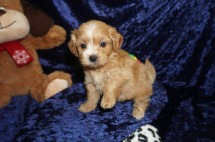 Molly Female CKC Havapoo $2000 Ready 1/18 SOLD MY NEW HOME LAKELAND, FL 1.13lbs 6wks old