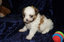 Praline Female CKC Shihpoo $1750 Ready 1/18 SOLD MY NEW HOME ORMOND BEACH, FL 1.7lbs 6wks old