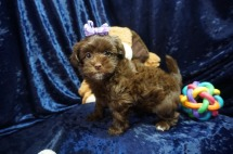 Reeses Female CKC Malshipoo $2000 Ready 1/10 SOLD MY NEW HOME NAPLES, FL 2.8lbs 7wks old
