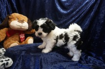 Romeo Male Teddy Bear a/k/a CKC Shicon $1750 Ready 1/11 AVAILABLE 3.8lbs 7wks old