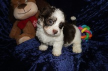 Royce Male CKC Havanese $1750 Ready 1/10 HAS DEPOSIT! My new home is in Ponte Vedra, FL. 2.9lbs 7wks old