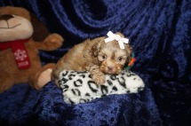 Scarlett Female CKC Shihpoo $2000 Ready 1/18 SOLD My new home Palm Coast, FL! 1.10lbs 6wks old
