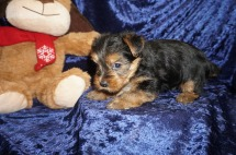 Sonny Male CKC Yorkie $2000 Ready 1/25 HAS DEPOSIT MY NEW HOME JACKSONVILLE, FL 2.2lbs 5wk5d old