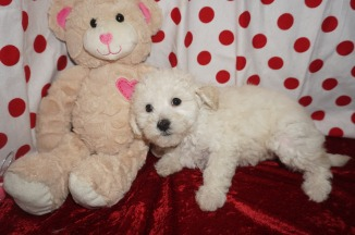 Alfie Male CKC Maltipoo $1750 Ready 1/18 AVAILABLE 2.13lbs 8wks old