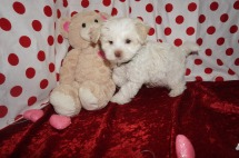 Archie Male CKC Maltipoo $1750 Ready 1/18 SOLD MY NEW HOME BRUNSWICK, GA! 2.3lbs 8wks old