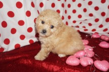 Charlie Male CKC Morkipoo $2000 Ready 2/2 HAS DEPOSIT MY NEW HOME JACKSONVILLE, FL 1.5lbs 5wk4d old