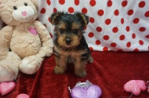 Cher Female CKC Yorkie $2000 Ready 1/25 SOLD My new home is in Jacksonville,FL. 1.12lbs 7wks old
