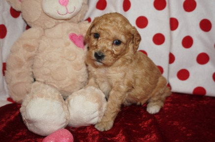 Cupid Male CKC Mini Labradoodle $2000 Ready 2/10 HAS DEPOSIT MY NEW HOME JACKSONVILLE, FL 1.8lbs 4wk1d old