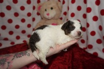 Elly May Clampett Female CKC Maltipoo $2000 Ready 2/23 AVAILABLE 13.7oz 2wk3d old