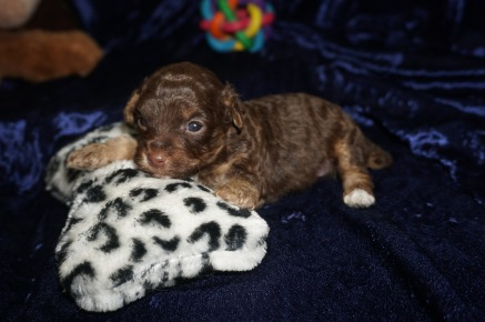 Jesse Male CKC Maltipoo $2000 READY ON 2/9 HAS DEPOSIT MY NEW HOME MIAMI, FL 14.9oz 3wk4d old