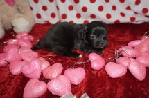 Kiss Female Miki $2000 Ready 2/14 HAS DEPOSIT! MY NEW HOME IS IN LAKE MARY, FL 1.2lbs 4wks old