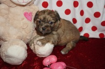 Lady Valentine Female Miki $2000 Ready 2/14 AVAILABLE 1.10lbs 4wks old