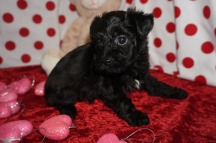 Love Bug Male CKC T-Cup Yorkipoo $1750 Ready 2/3 SOLD MY NEW HOME ST JOHNS, FL 1.14lbs 5wk4d old